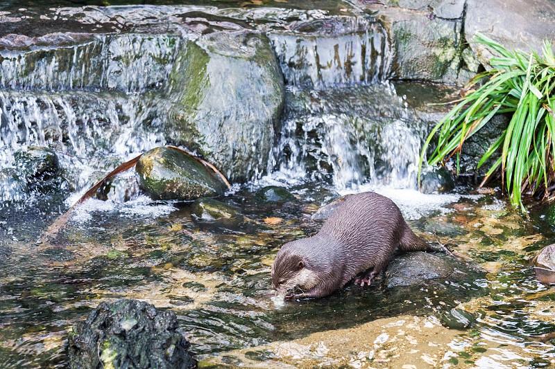 Asian Small-clawed Otter (Aonyx cinerea syn. Amblonyx cinereus) photo