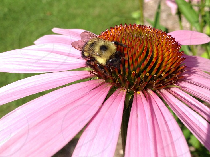 The bee and the flower  photo