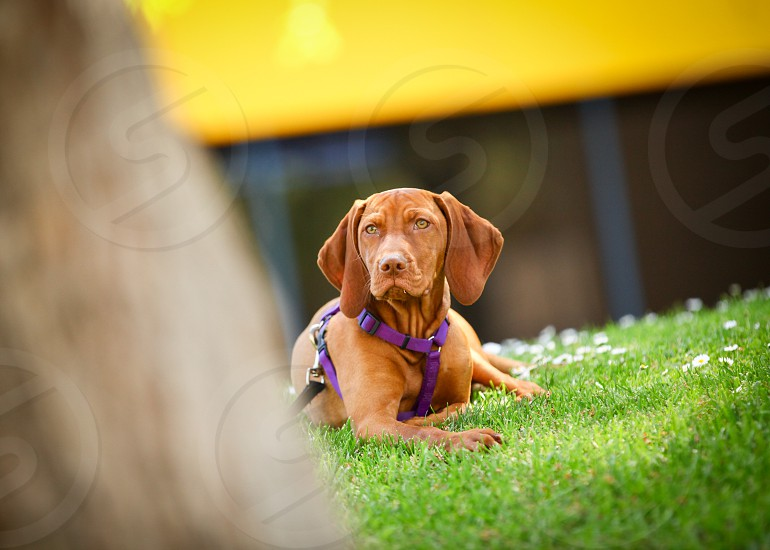 Beautiful copper brown Vizsla puppy sitting on grass. photo