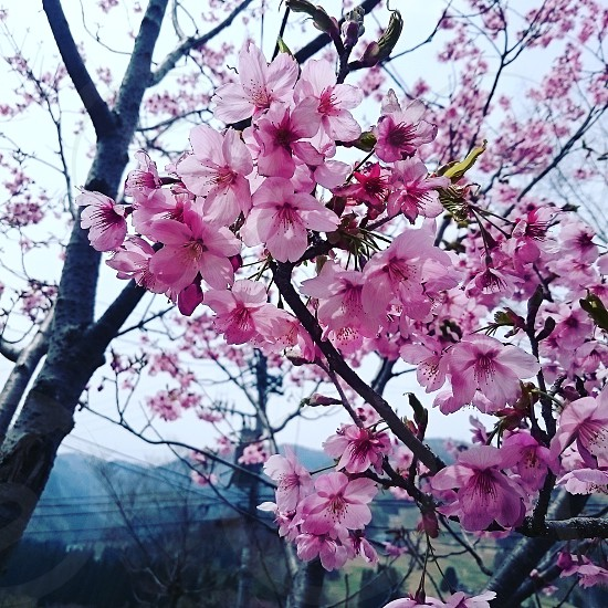 桜 春 photo