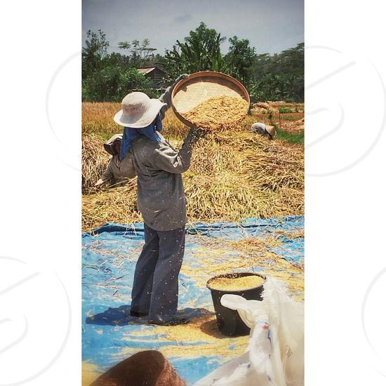 Rice farmers photo