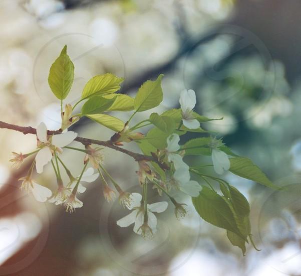 white stephanotis photo