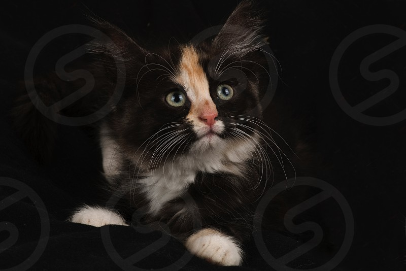#studio #kitten #cat #black photo