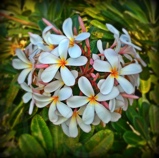 Plumeria tree in Kona photo