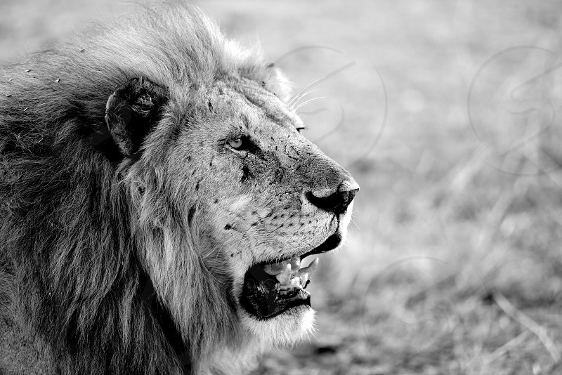 Lion King - Serengeti National Park - Tanzania photo