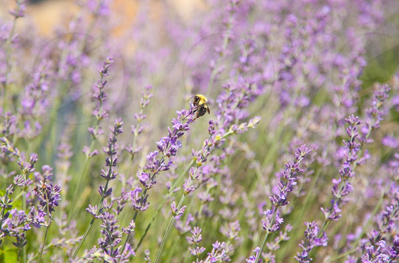 nature purple flower lavender field plant fragrance aroma perfume aromatherapy beauty floral summer flora garden photo
