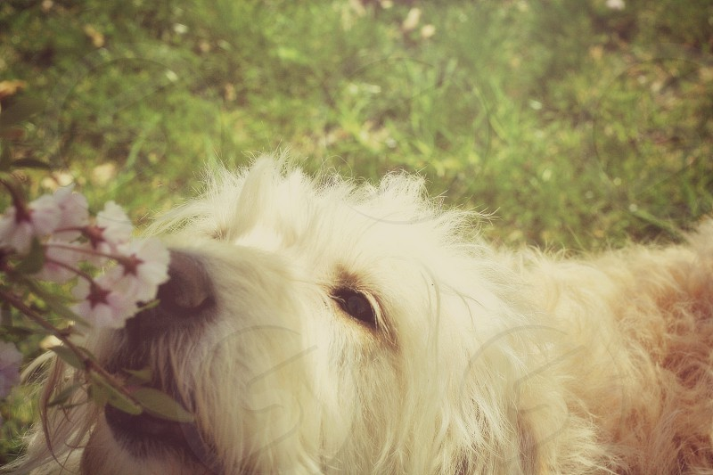 Labradoodle dog stopping to smell spring flowers. photo