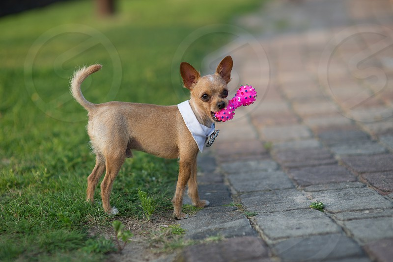 Domestic dog playing with pink toy photo