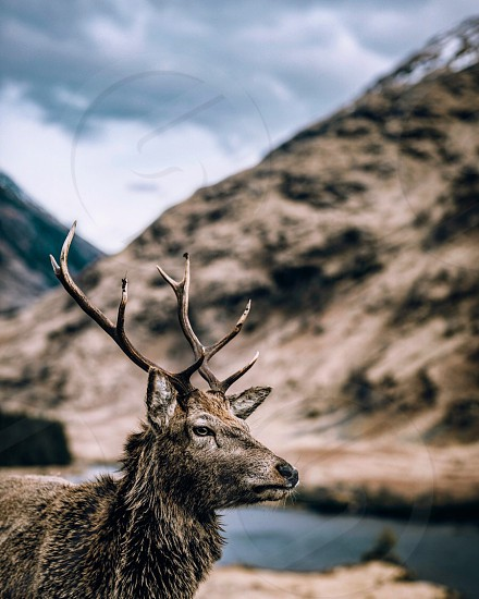 Stag in gaze in Scotland photo