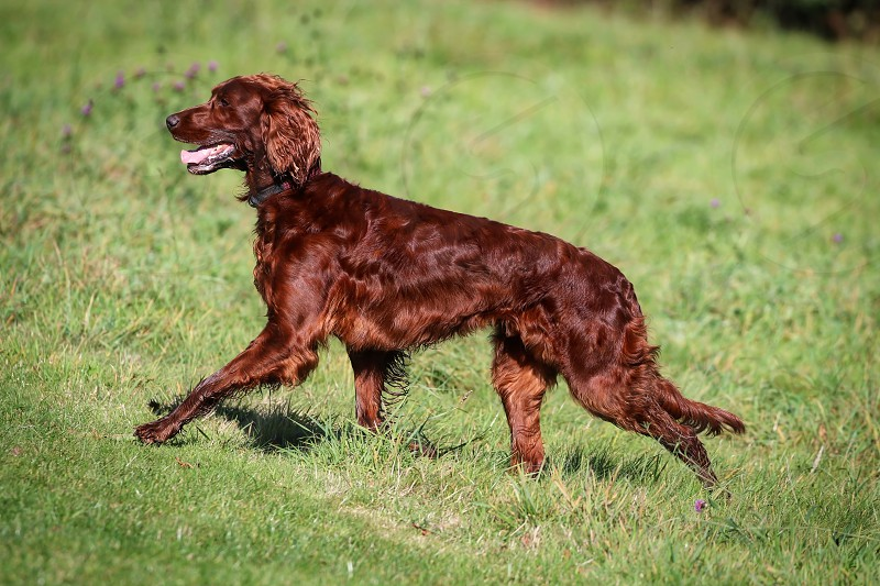 Red Setter photo