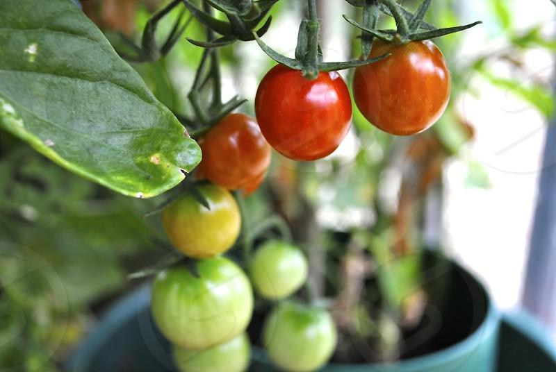Fresh home grown tomato plant  photo
