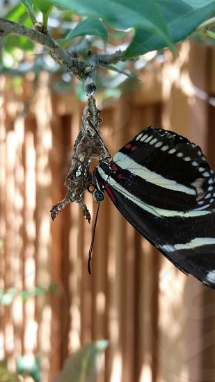 From an alien looking chrysalis is born a Zebra Longwing Butterfly. photo