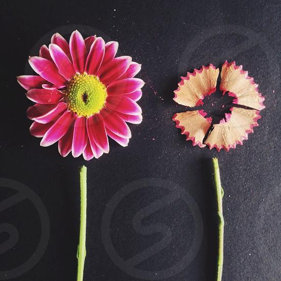 pink daisy  photo