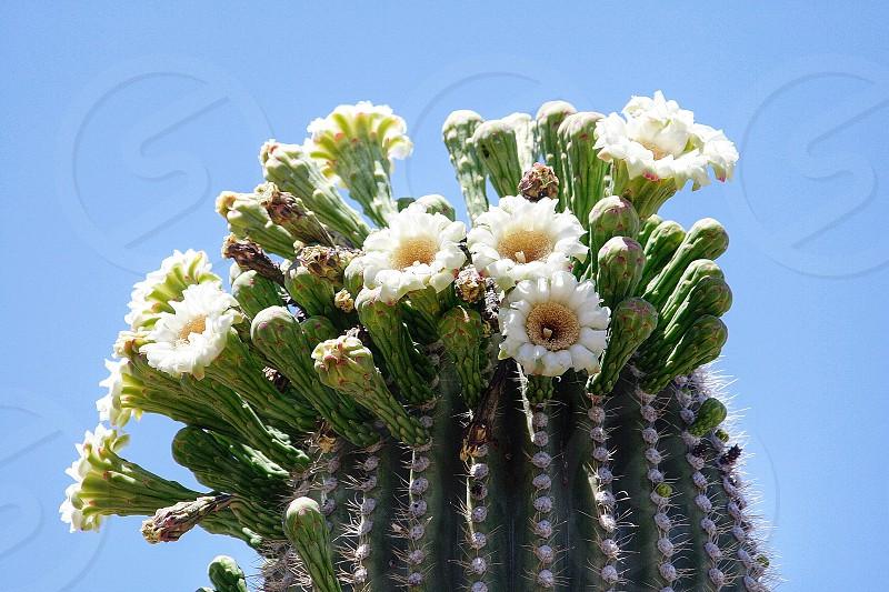 Saguaro cactus flower photo