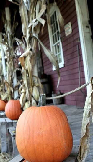 orange pumpkins near corn plant and house photo