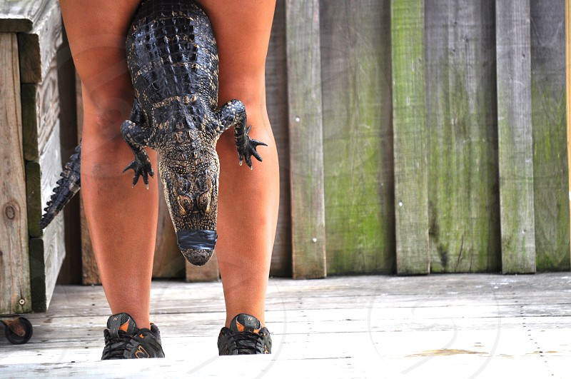 Alligator between the legs photo