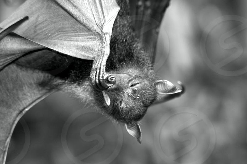 Black & White Bat Flying Fox photo