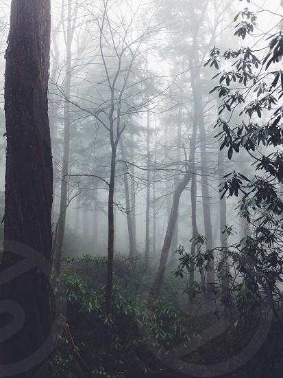 leafless trees in foggy forest photography  photo