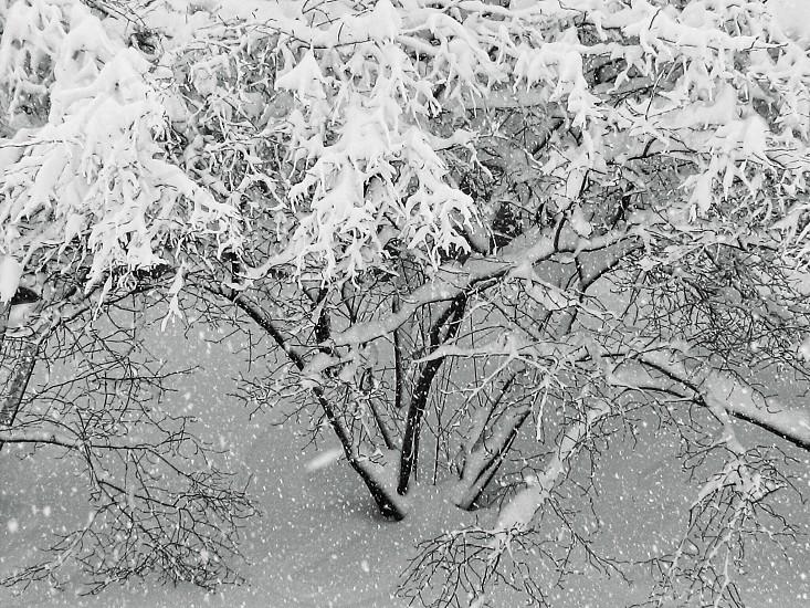 Snow Covered Bush photo