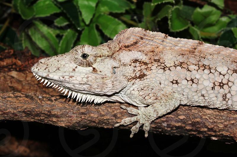 Porcus False Chameleon Anole photo