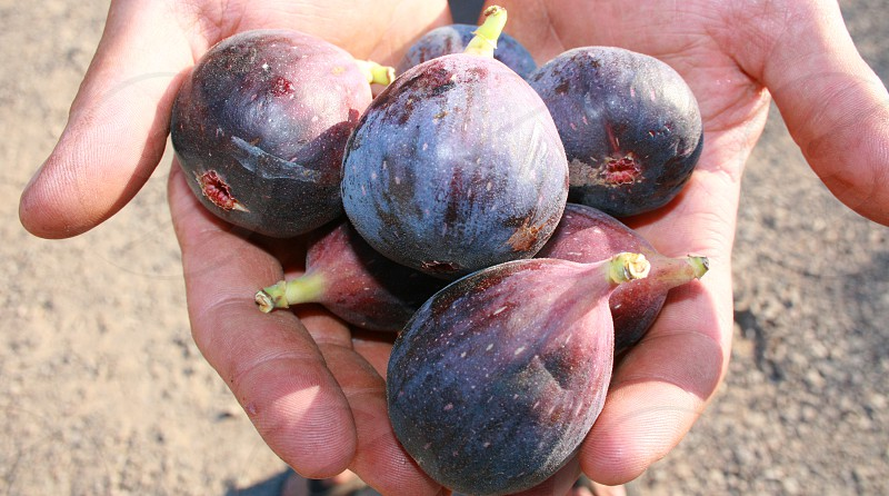 Hands Offering Figs. photo