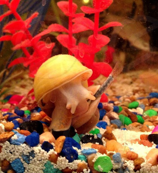 Pet snail eating pet fish..  photo