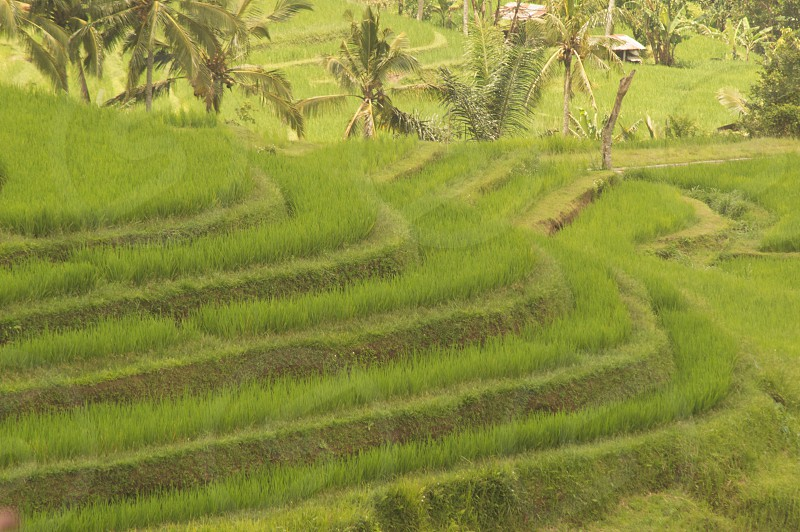 Rice fields in Indonesia. photo