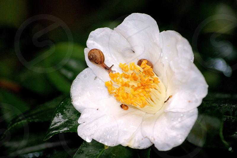 Snail on dewy flower photo