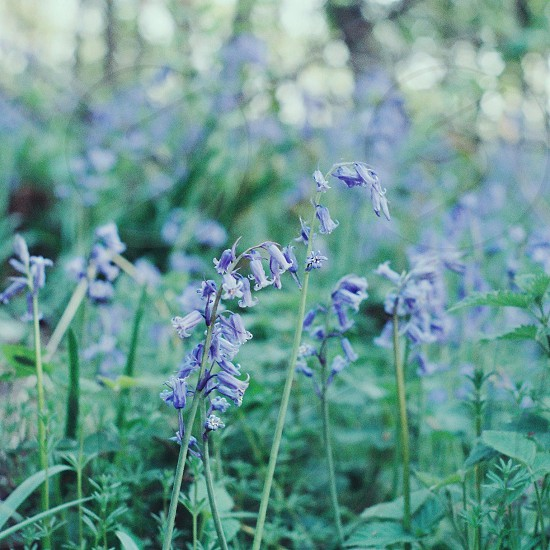 bokeh flowers floral teal blue green bluebells nature photo