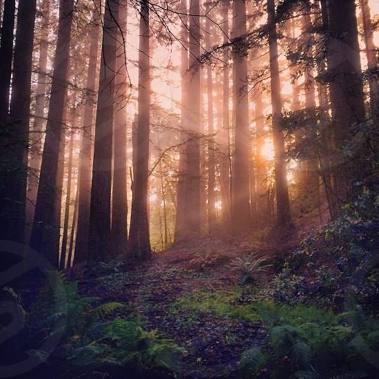sunlight between trees photography photo