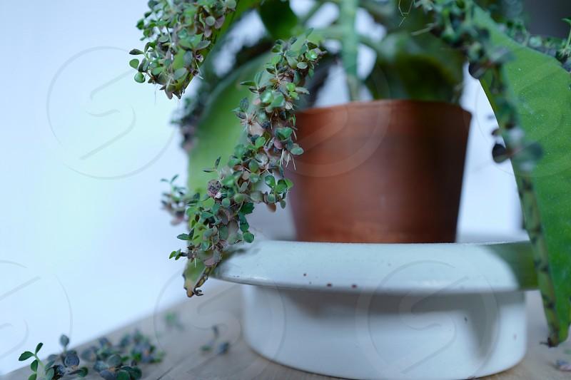 mother-of-thousands kalanchoe daigremontiana succulent photo