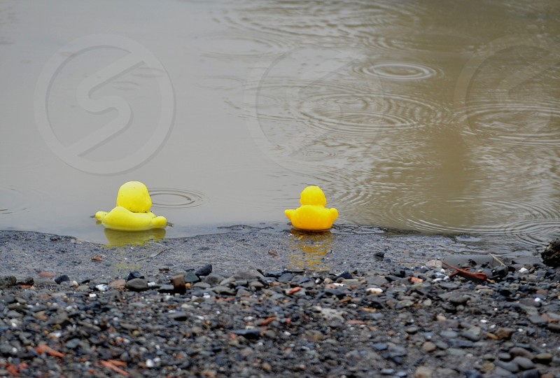 two yellow rubber ducklings on body of water photo