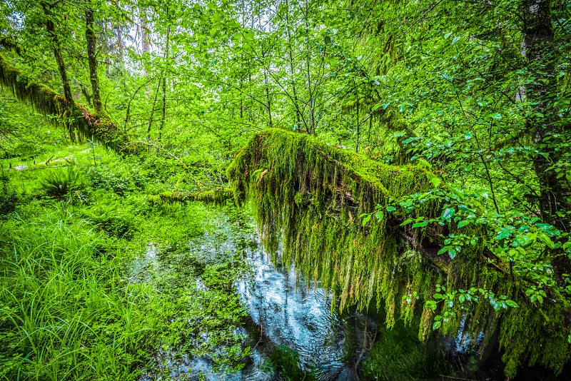 Hoh Rainforest Olympic National Park WA photo