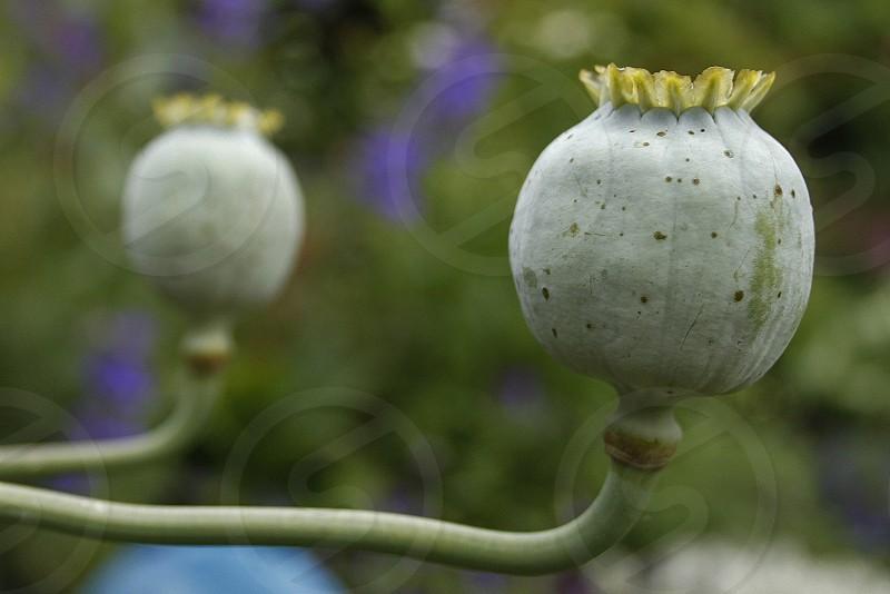 green poppy pod plant photo