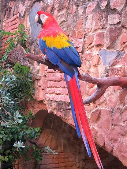 Paulie the Parrot Courtyard Resident of Gallery Inn Old San Juan Puerto Rico photo
