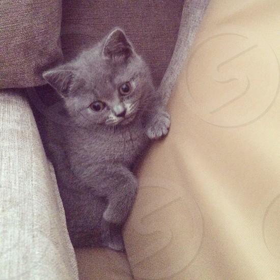 British blue shorthair kitten  photo