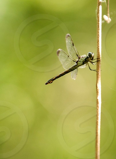 A dragonfly rests on an upright twig just off the racoon trail at BREC's Bluebonnet Swamp Nature Center in Baton Rouge Louisiana photo