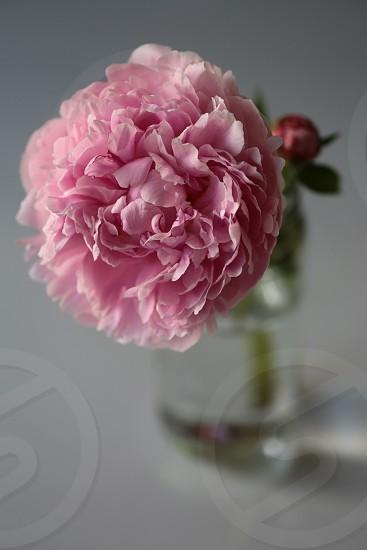 Pink peonies peony bud glass bottle white background photo