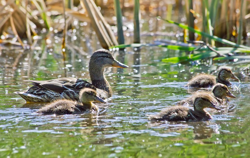 Mallard Mother Duck with her Ducklings on a lake photo