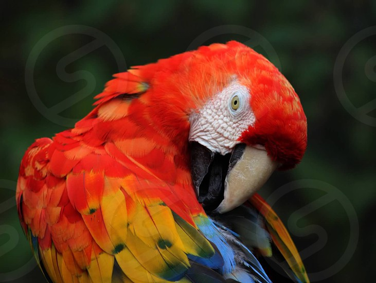 Macaw scarlet colorful vibrant bird  photo