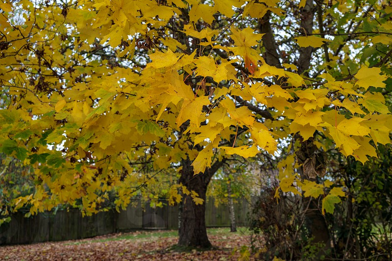 Autumnal colours  of a Maple tree in East Grinstead photo