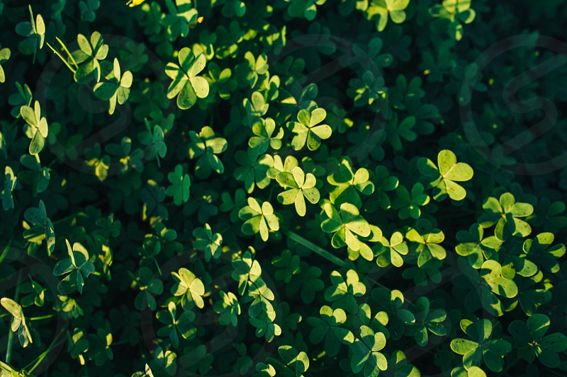 green clover leaves photo