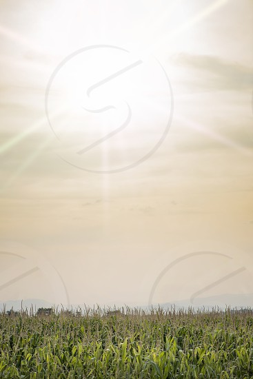 Plantings of corn and sunny sky background photo