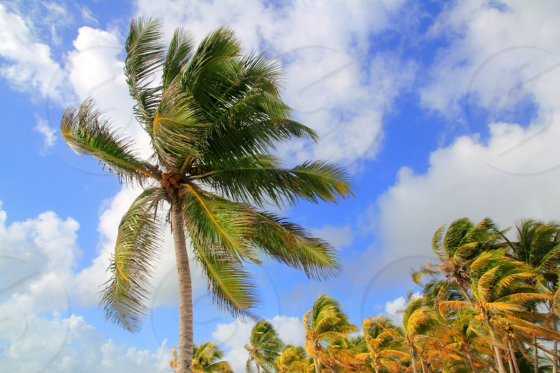 Coconut palm trees tropical typical background under blue sky photo
