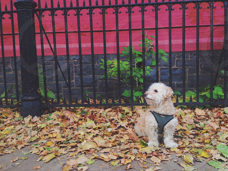 My dog posing on some crunchy fall leaves photo