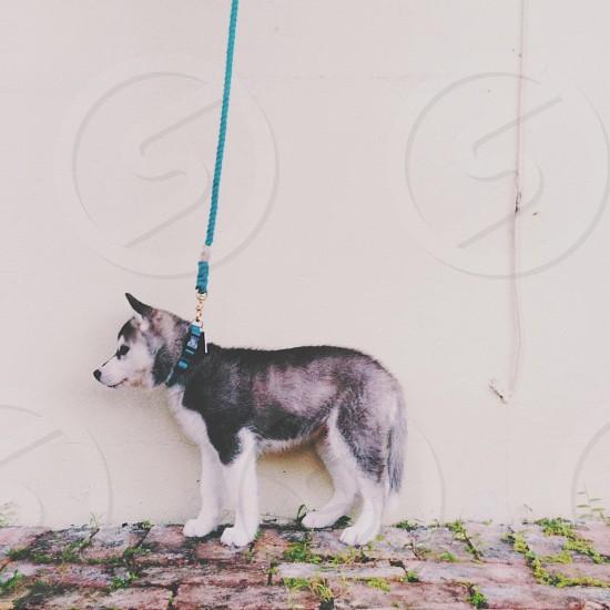 black and white husky dog photo