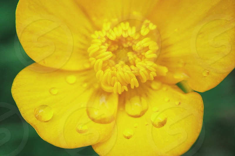 Flower flowers yellow spring nature macro water drop  photo