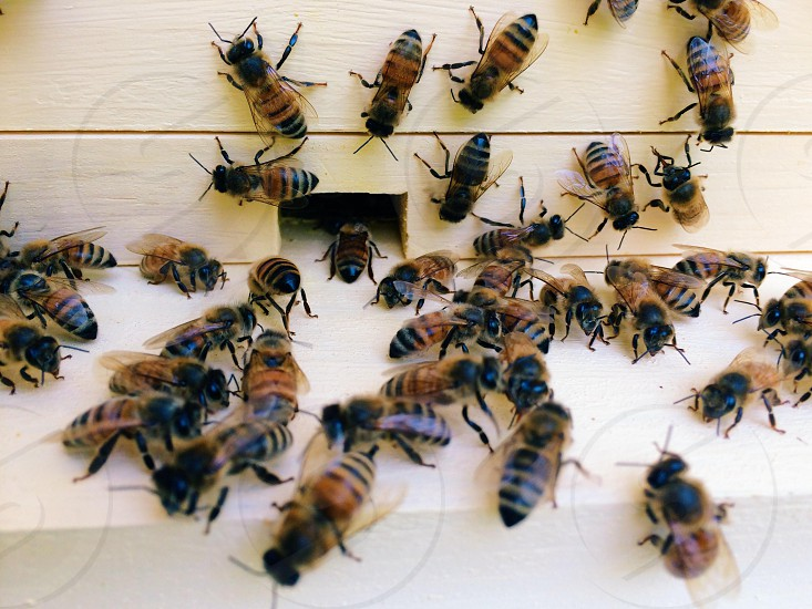honey bees garden backyard beekeeping photo