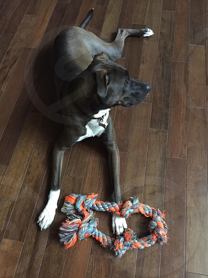 brown and white short hair dog near gray and orange rope photo