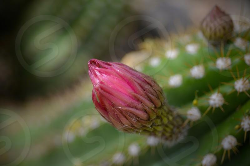 Cactus Bloom photo
